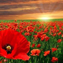 Flor de Amapola: ¿Dónde crece?, características, uso y más