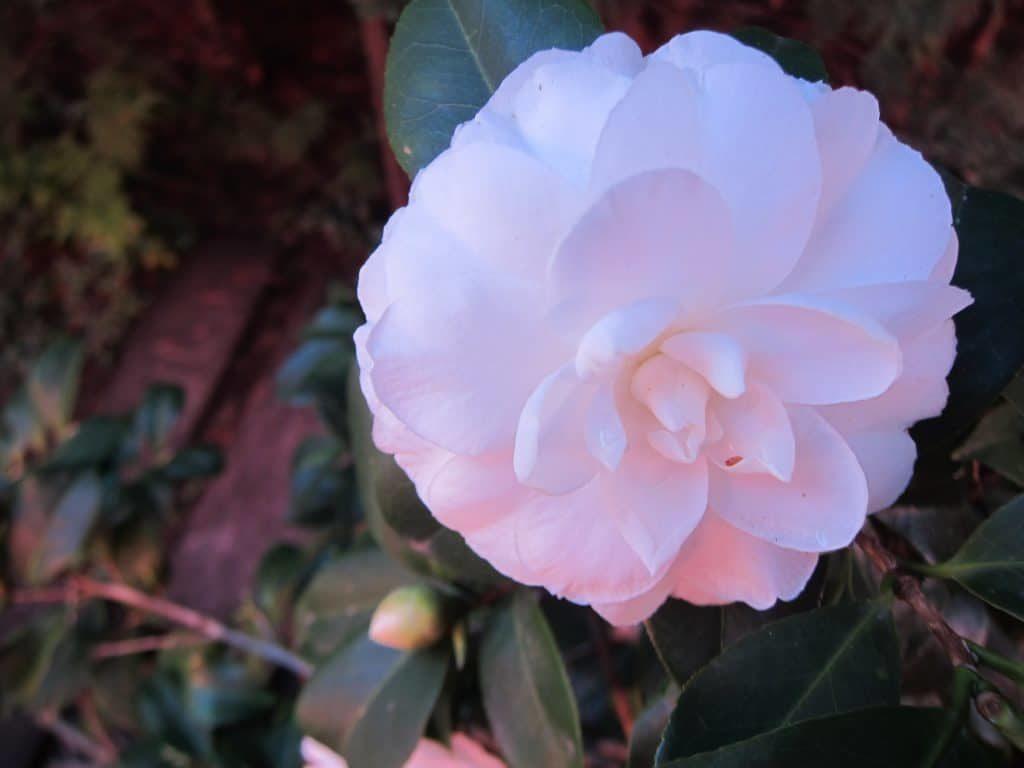 Flor de camelia