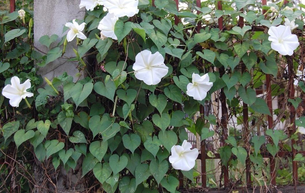 flor de campanilla