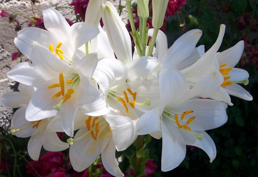 Azucenas Blancas Semilla Cultivo Descripción Y Más