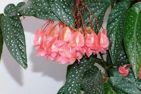 flor de begonia