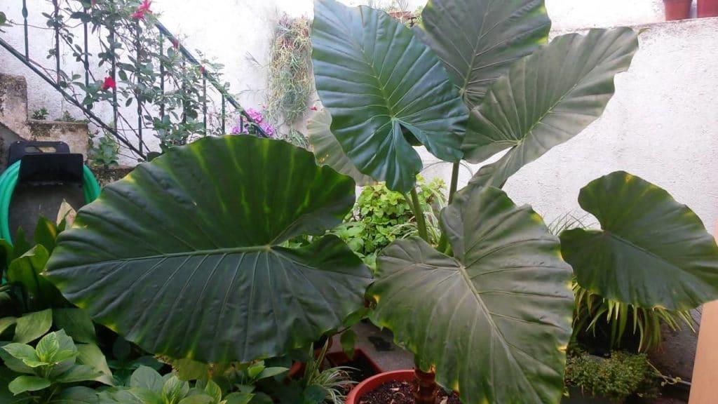 Marquesa planta