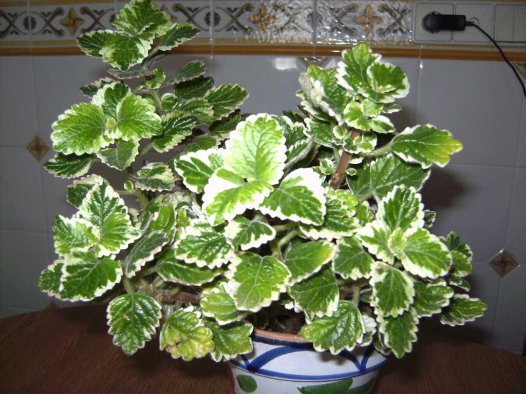 planta incienso