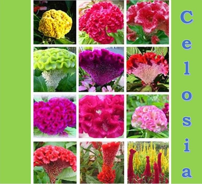 Planta Celosia Características Cultivo Cuidados Y Más