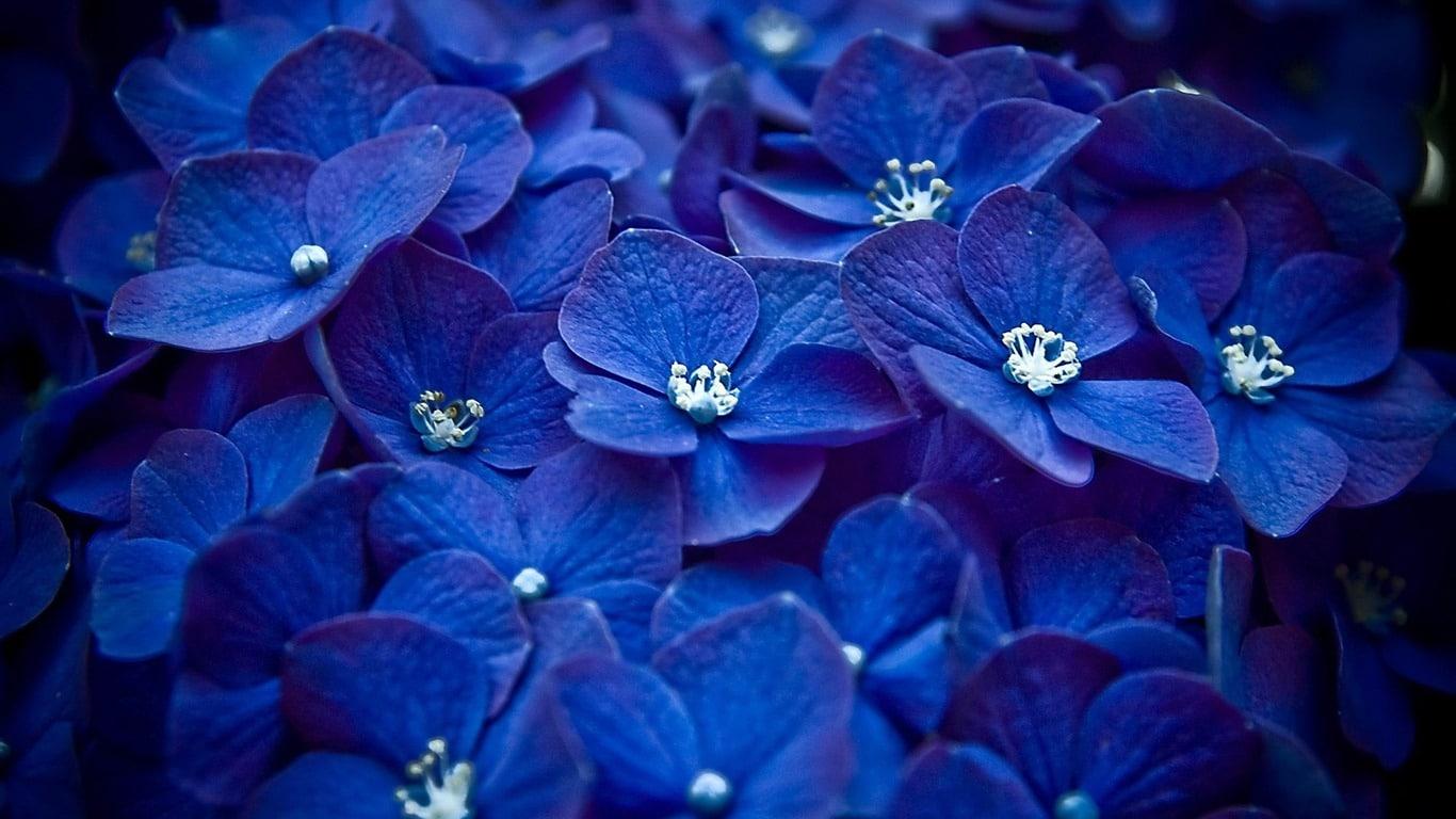 Hortensias-azules-1