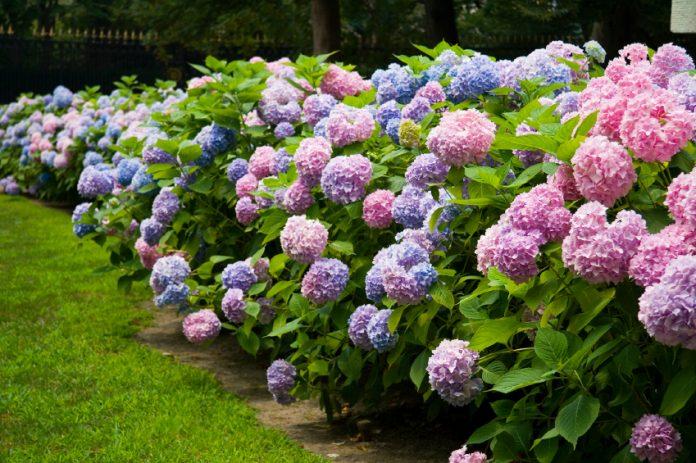 Hortensias-azules-3