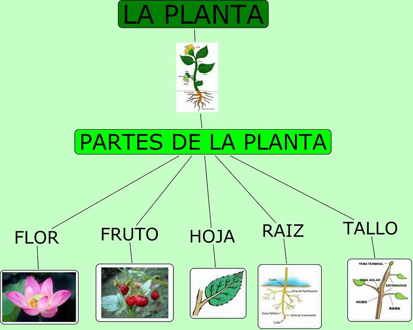 Partes de las Plantas