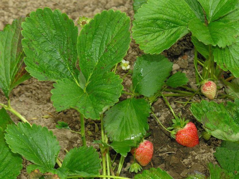 planta-de-fresa