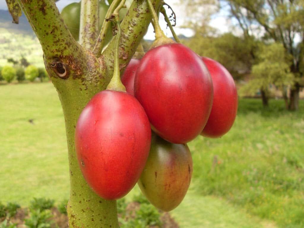 Tomate-de-árbol-2