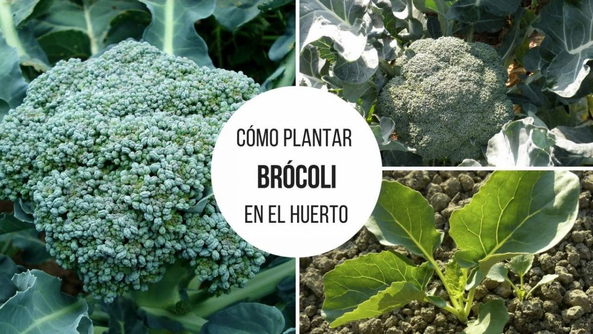 Plantar Brócoli