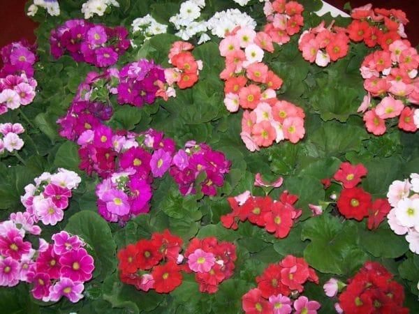 Plantas anuales o bienales