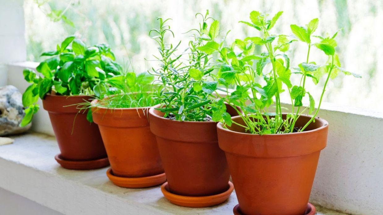 Plantas-aromáticas-5