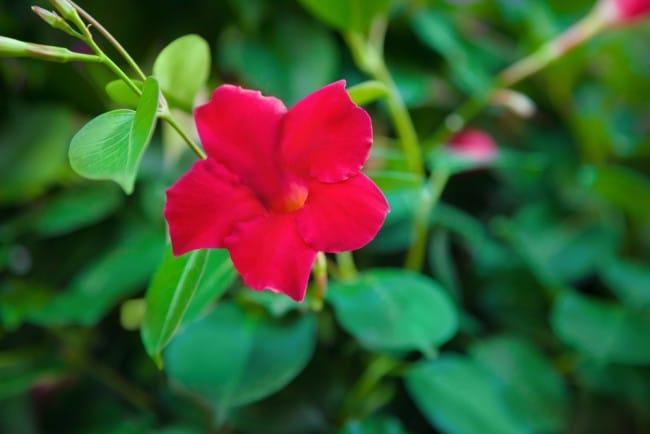 Plantas trepadoras con flor 1