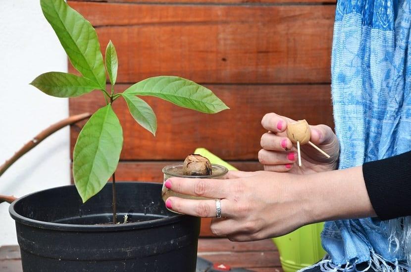 Plantar-aguacate-en-maceta-2